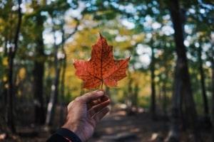 Feuille d'érable - Symbole Canada